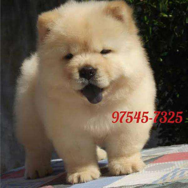 Chowchow top