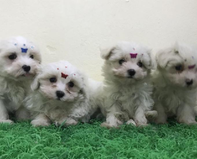 Filhotes de maltês à venda em sp e abc.cães criados por