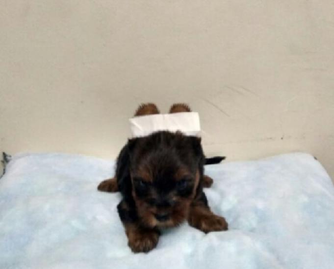 Yorkshire terrier mini último filhote machinho