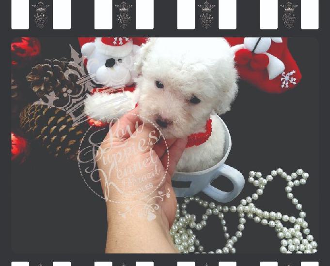 Canil especializado desde 1989 poodle micro e poodle toy