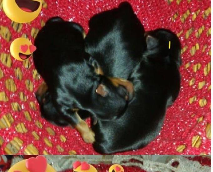 Filhotes yorkshire fêmea e macho porte pequeno mini