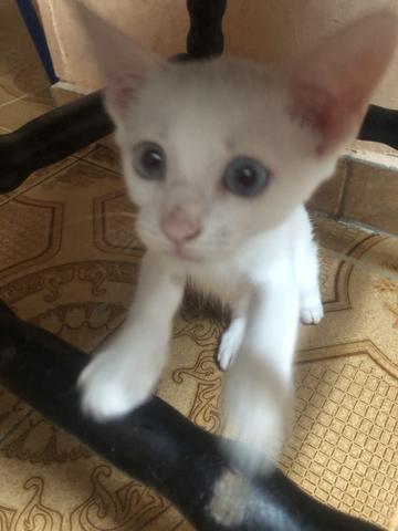Adoção doação gato branco macho filhote olho azul