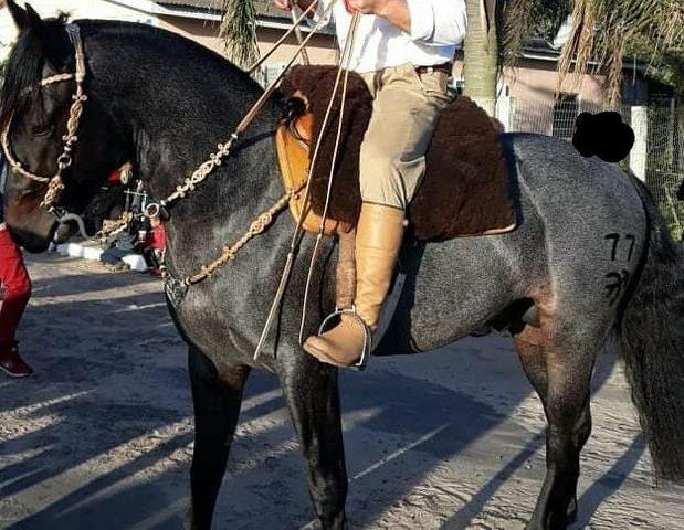 Cavalo inteiro mouro encilhado