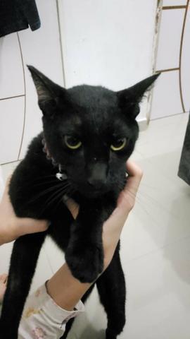 Doação de um gato castrado (urgênte)