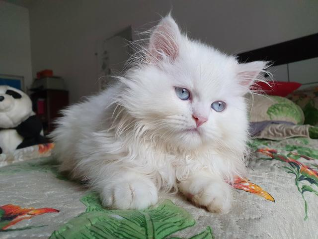 Filhote persa macho branco olhos azuis à disposição