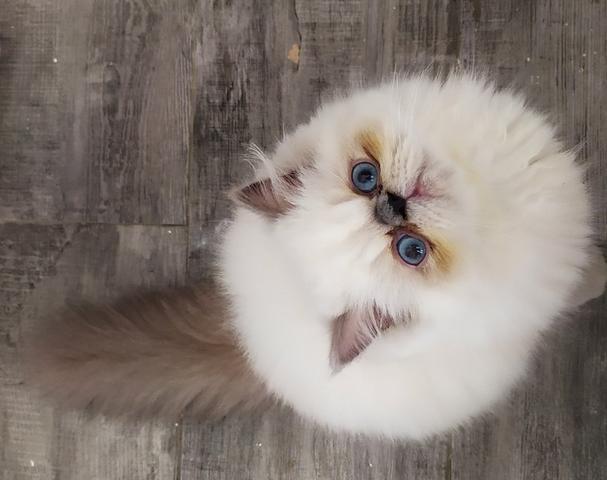 Filhote de gato persa/himalayan