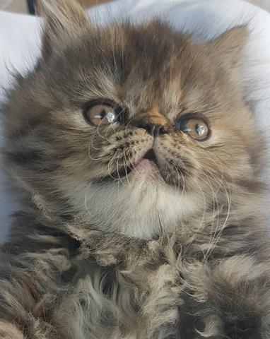 Filhote de gato persa fêmea. a pronta entrega