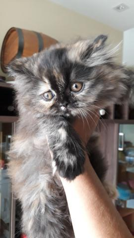 Filhote gato persa (femia)