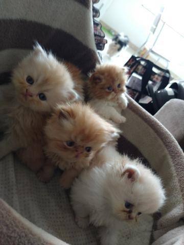 Filhotes de gato persa legítimos