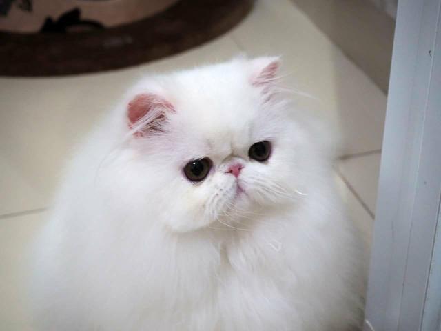 Gato persa, do gatil ps