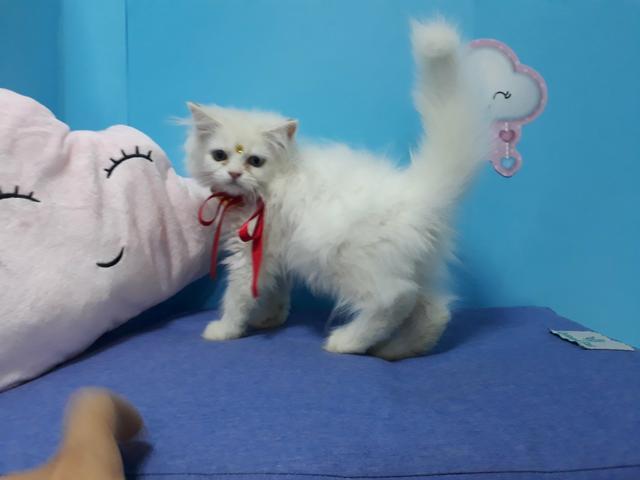Gato persa fêmea branca com garantia em 10x