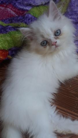 Gato persa macho olhos azuis