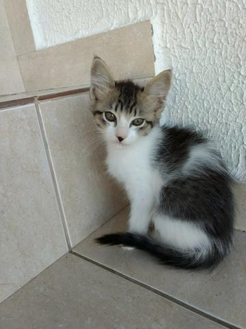 Pompom belissima gatinha para adoção responsável
