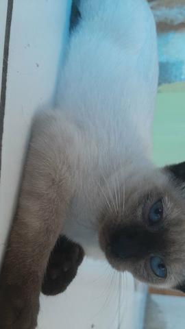 Urgente: doação de filhotes siamês