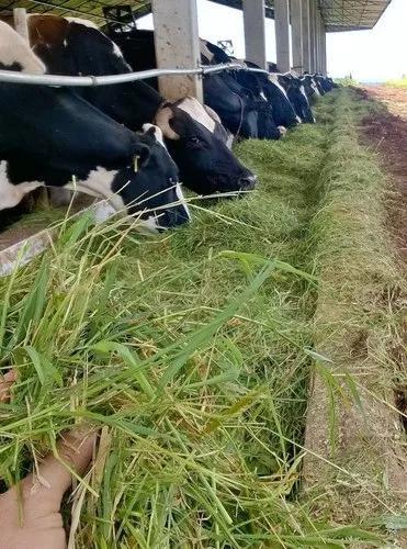 Alimentos volumosos para vacas leiteiras
