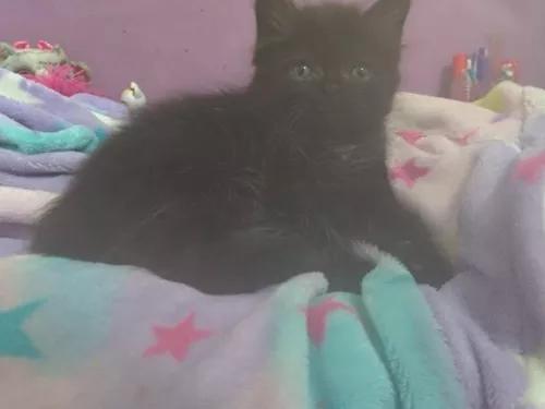 Filhote de gato persa - bebê - irresistivelmente fofo