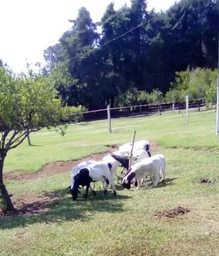 Ovelhas carneiro mestiças dorper