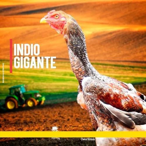 Ovos galados de índio gigante 12 ovos frete gratis
