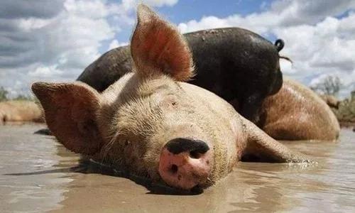 Vendo porcos(pequeno, médio e grande)