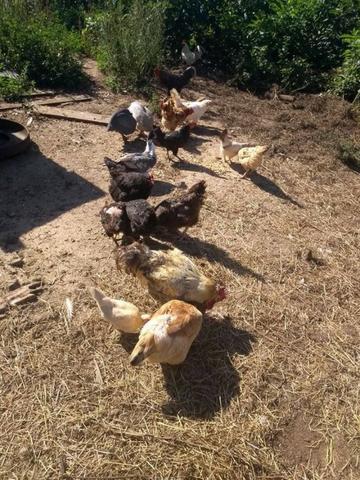 Gansos, galinhas, galos, galizé e patos(as)