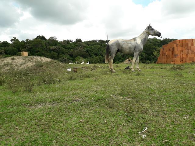 Cavalo pampa paulista