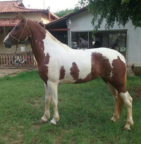 Venda equinos cavalos potros coberturas mangalarga marchador