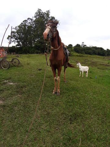 Vendo cavalo paulista