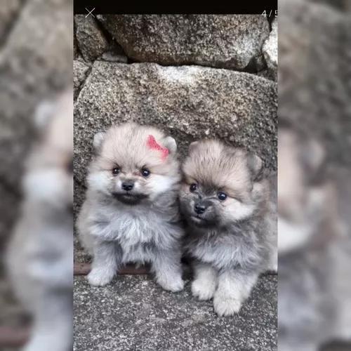 Cachorros spitz al