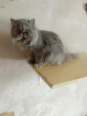 Gato persa fêmeas