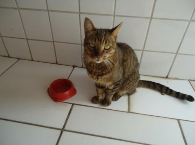 Gato tigrado desapareceu nas imediações do bairro betânia