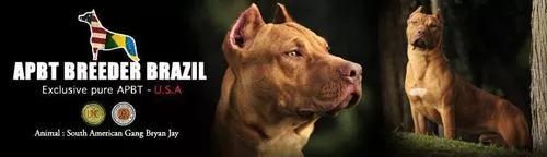 Sêmen importado para reprodução american pit bull terrier