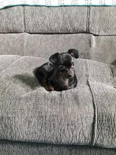 Vende-se cachorro de pequeno porte!!