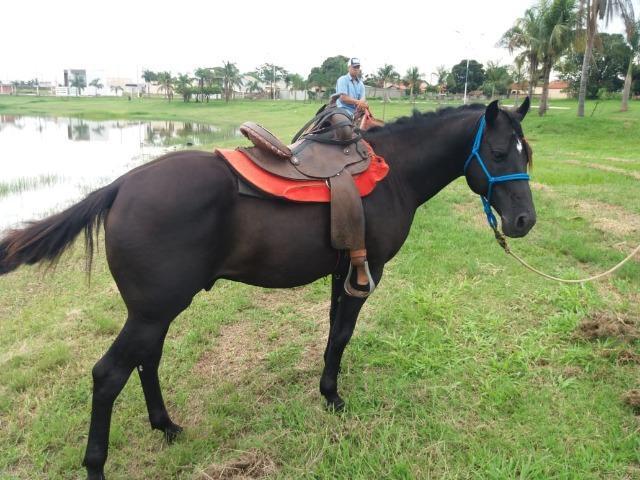 Vendo cavalo quarto de milha preto