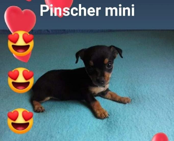 Pinscher 0