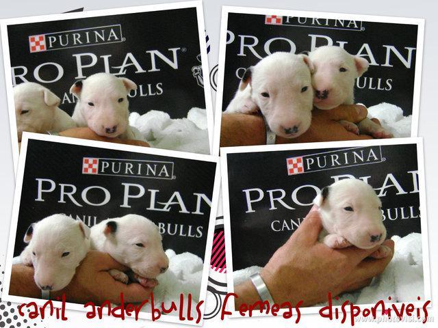Bull terrier filhotes canil anderbulls