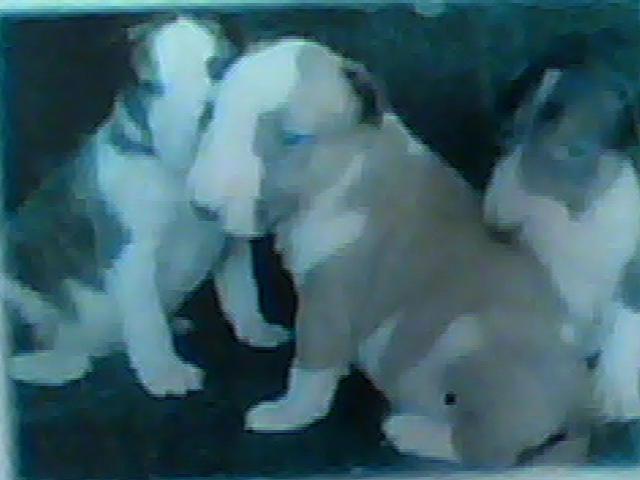 En venta cachorros bullterrier con exelente pedigree