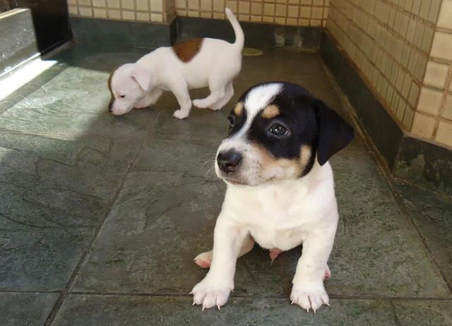 Filhote jack russel terrier - macho