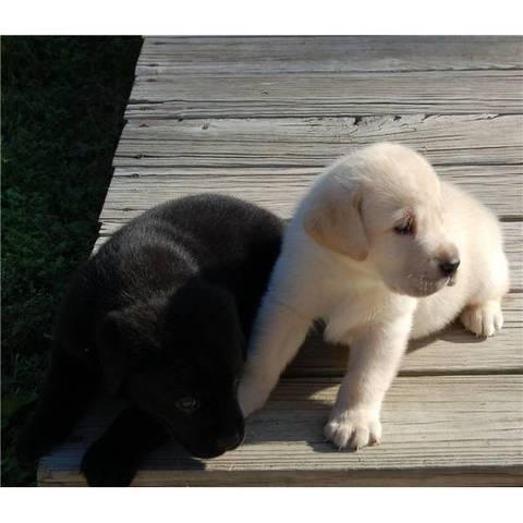 Filhote de cachorro natal labrador retriever