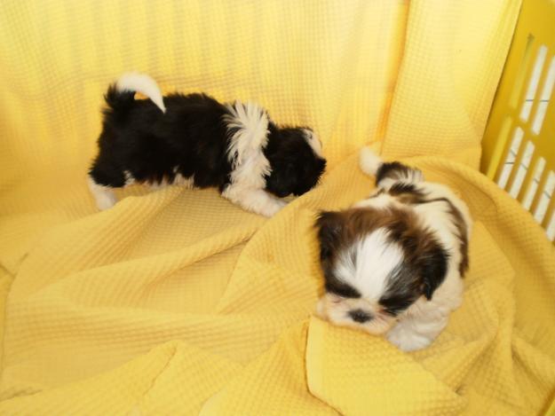 Filhote de cachorros shih tzu a venda em goiania brasilia 62