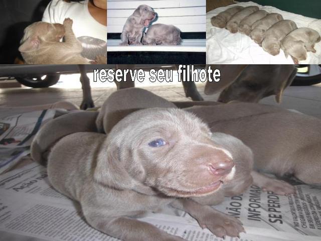 Filhotes legítimos de weimaraner com pedigree