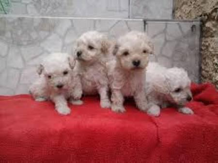 Indos filhotes de poodle toy,canil marley