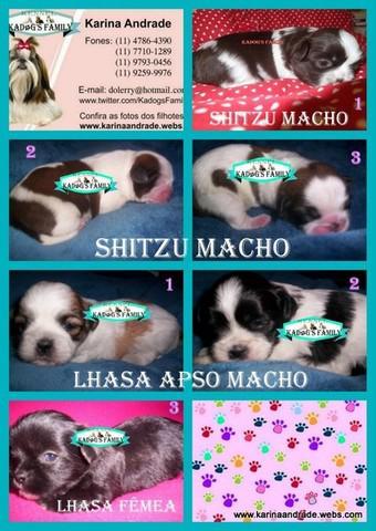 Lindos filhotes de shitzu e lhasa apso
