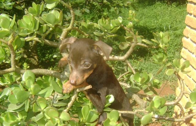 Pinscher miniatura – o pequeno cão de guarda