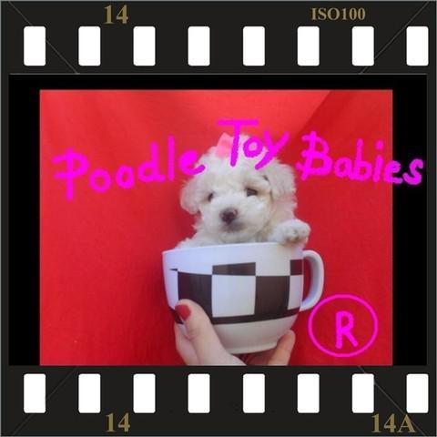 Poodle micro e poodle toy especializado em poodles