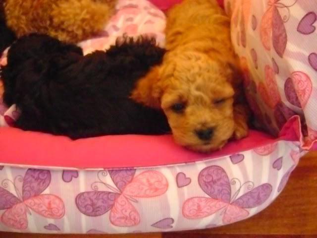 Poodle toy - venda e reserva de filhotes
