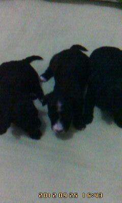 Vendo lindos filhotes de poodle micro