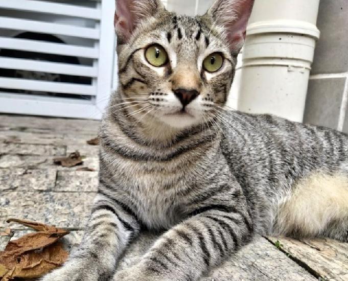 Saquê - gatinho castrado e vacinado para adoção em Santos