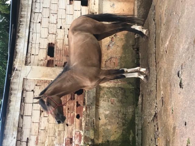 Cavalo mongolino