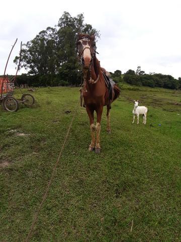 Cavalo mangalarga troco por cabra