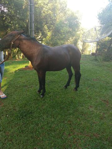 Cavalos manga larga marchador